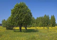 树丛结构树 免版税库存照片