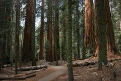树丛美国加州红杉 免版税库存图片