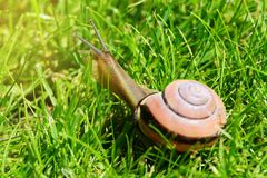 树丛蜗牛或棕色有嘴蜗牛, Cepaea nemoralis,滑通过新鲜的绿草 免版税图库摄影