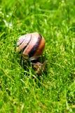 树丛蜗牛或棕色有嘴蜗牛, Cepaea nemoralis,滑通过新鲜的绿草 免版税库存图片