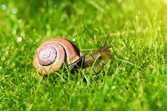 树丛蜗牛或棕色有嘴蜗牛, Cepaea nemoralis,滑通过新鲜的绿草 库存图片