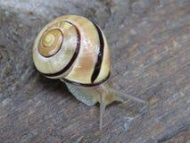 树丛蜗牛 库存图片