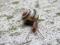 树丛蜗牛 免版税库存图片