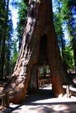 树丛mariposa国家公园优胜美地 免版税库存图片