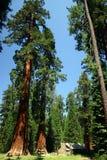 树丛mariposa 免版税库存图片
