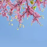 树东部Redbud紫荆Canadensis分支在开花的有桃红色花的 图库摄影