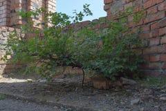 树从在红砖一个未完成的大厦的一个水泥地板发芽了  免版税库存照片