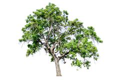 树从白色完全地被分离 免版税库存图片