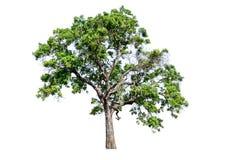 树从白色完全地被分离 免版税库存照片