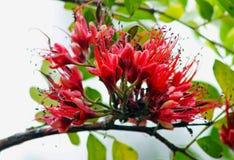 树倒挂金钟,非洲greenheart,非洲核桃, Schotia brachypetala 免版税图库摄影