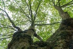 树冠上反对在英国的南部的多云天空 免版税库存图片