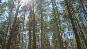 树冠与明亮的下午太阳和光芒的 美好的自然,有长的树干的原始森林,青苔,绿草 股票视频