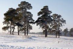 树冰杉木 库存图片
