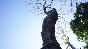 树凋枯,树枯萎,树耷拉 免版税图库摄影