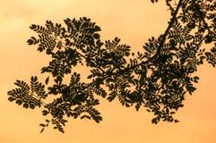 树分支与在日落背景隔绝的绿色叶子的 库存图片