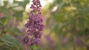 树分支与美丽的淡紫色花的在风摇摆在一个温暖的夏日在庭院里 自然 股票视频