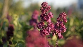 树分支与美丽的淡紫色花的在风摇摆在一个温暖的夏日在庭院里 自然 股票录像