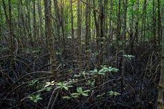 树分支和根在美洲红树森林里 图库摄影