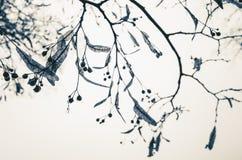 椴树分支在冬天季节的 免版税库存照片