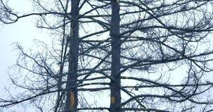树分支在灰色天空背景的 股票录像
