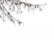 椴树分支在雪的反对天空 库存照片