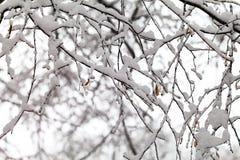 树分支在雪的 免版税库存照片