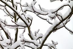 树分支在雪的 库存照片