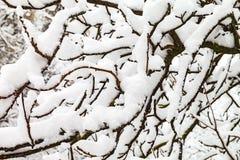 树分支在雪的 库存图片