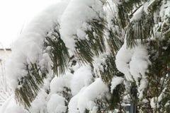 树分支在雪的 免版税图库摄影