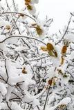 树分支在雪的 免版税库存图片