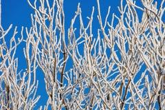 树分支在霜的在蓝天背景  免版税库存图片