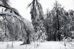 树分支弯曲了在重量雪下在冬天森林里 免版税库存图片
