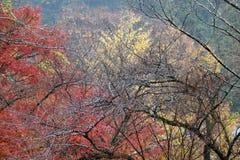 树分支没有叶子的在树的雨和背景红色和黄色叶子以后 库存图片