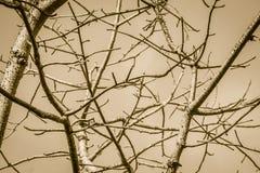 树分支没有叶子背景的 旱季树机智 库存图片
