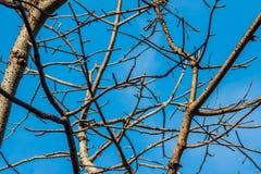 树分支没有叶子背景的 旱季树机智 图库摄影