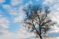 树剪影反对蓝天和云彩的在日落期间 库存图片