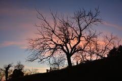 树剪影在晚上 库存照片
