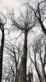 树剪影没有叶子的在森林里 免版税库存图片