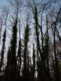 树剪影纹理 库存图片
