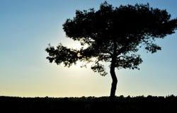 树剪影 免版税库存照片