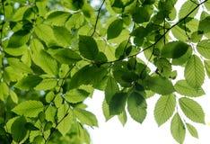 树叶子在春天 库存照片