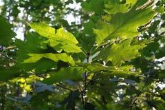 树叶子在阳光下 免版税库存照片