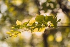 椴树叶子由发光通过夏天的太阳点燃了周到 背景 免版税图库摄影