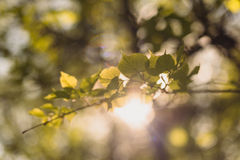 椴树叶子由发光通过夏天的太阳点燃了周到 背景 库存图片