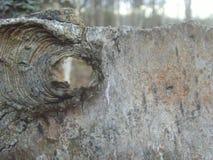 树吠声与孔的 从一棵老树的Cora 免版税库存照片