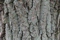 树吠声与青灰色地衣的 库存图片