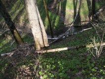 树和一条小河在春天森林 库存照片