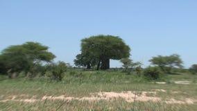 树和刷子在大草原 股票视频