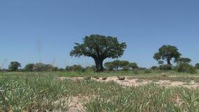 树和刷子在大草原 股票录像