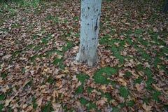 树和叶子在秋天 免版税库存图片